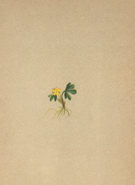 Associate Product ALPENFLORA ALPINE FLOWERS. Ranunculus pygmaeus Wahlbg-Zwerghahnenfuss 1897
