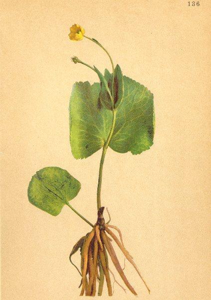 Associate Product ALPENFLORA ALPINE FLOWERS. Ranunculus thora L-Giftiger Hahnenfuss 1897 print