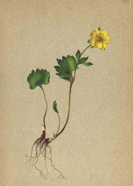 Associate Product ALPENFLORA ALPINE FLOWERS. Ranunculus pythora Crantz-Tödtlicher Hahnenfuss 1897