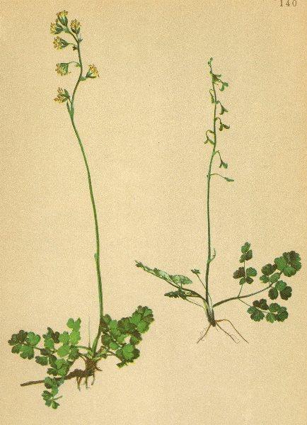ALPENFLORA ALPINE FLOWERS. Thalictrum alpinum L-Alpen-Wiesenraute 1897 print