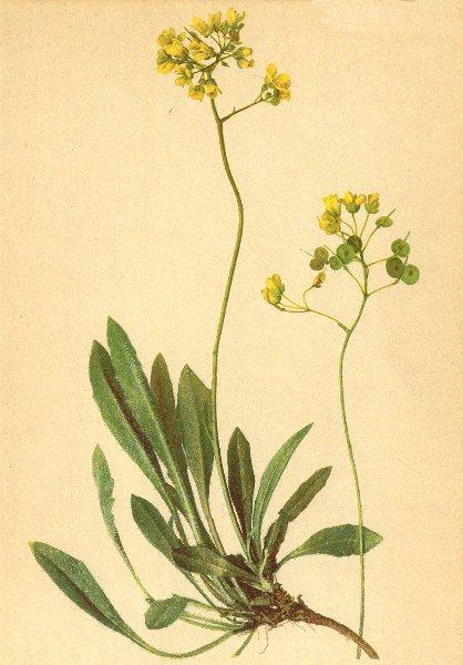 Associate Product ALPENFLORA ALPINE FLOWERS. Biscutella laevigata L-Brillenschötchen 1897 print