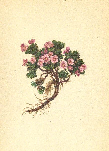 Associate Product ALPENFLORA ALPINE FLOWERS. Petrocallis pyrenaica (L. ) R. Br-Steinschmückel 1897