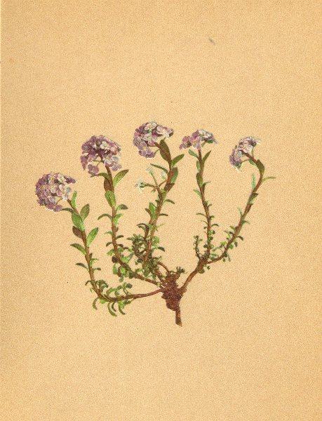 Associate Product ALPINE FLOWERS. Thlaspi cepeaefolium Koch-Fetthennblättriges Täschelkraut 1897