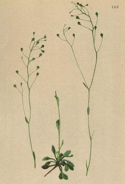 Associate Product ALPENFLORA ALPINE FLOWERS.Kernera saxatilis(L.)Rchb-Felsen-Kugelschötchen 1897