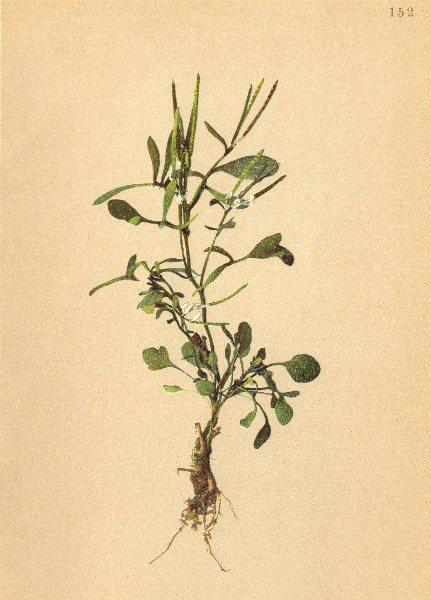 Associate Product ALPINE FLOWERS. Cardamine resedifolia L-Resedenblättriges Schaumkraut 1897