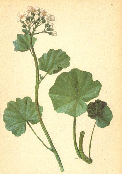 ALPINE FLOWERS. Cardamine asarifolia L-Haselwurzblättriges Schaumkraut 1897