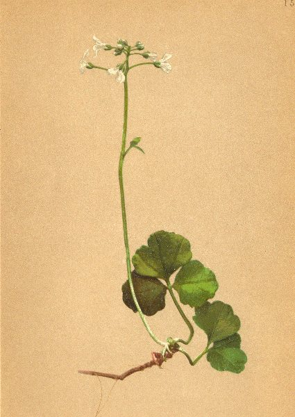 Associate Product ALPENFLORA ALPINE FLOWERS. Cardamine trifolia L-Dreiblättriges Schaumkraut 1897