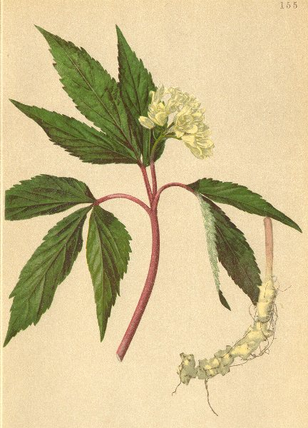 Associate Product ALPENFLORA ALPINE FLOWERS. Dentaria enneaphyllos L-Neunblättrige Zahnwurz 1897