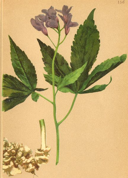 Associate Product ALPENFLORA ALPINE FLOWERS.Dentaria digitata Lam-Gefingertblättrige Zahnwurz 1897