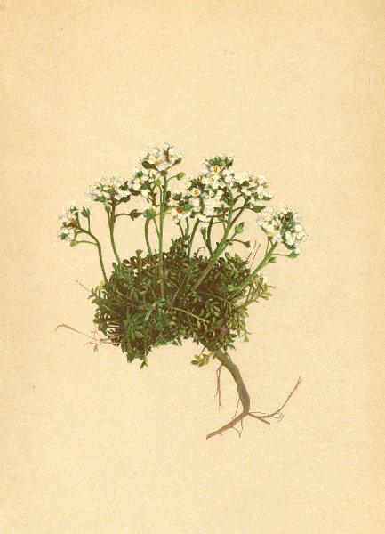Associate Product ALPENFLORA ALPINE FLOWERS. Hutchinsia alpina (L. ) R. Br-Alpen-Felsenkresse 1897