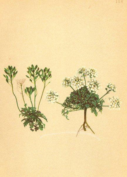 Associate Product ALPINE FLOWERS. Hutchinsia brevicaulis Hoppe-Kurzstenglige Felsenkresse 1897