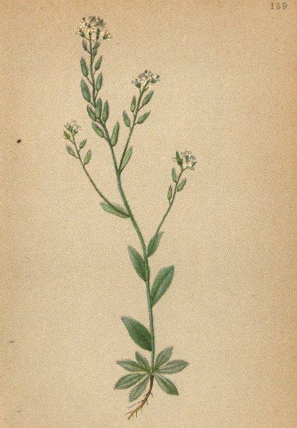 Associate Product ALPENFLORA ALPINE FLOWERS. Draba confusa Ehrh-Verkanntes Hungerblümchen 1897