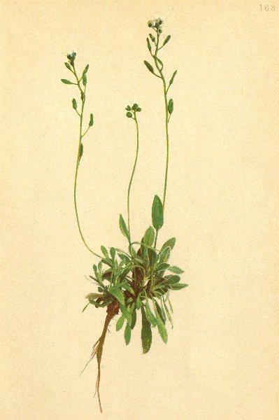 Associate Product ALPENFLORA ALPINE FLOWERS. Draba carinthiaca Hoppe-Kärntner Hungerblümchen 1897