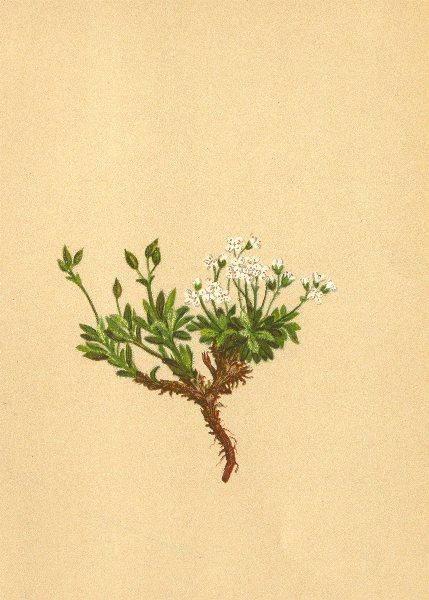 Associate Product ALPENFLORA ALPINE FLOWERS. Draba fladnizensis Wulf-Fladnizer Hungerblümchen 1897