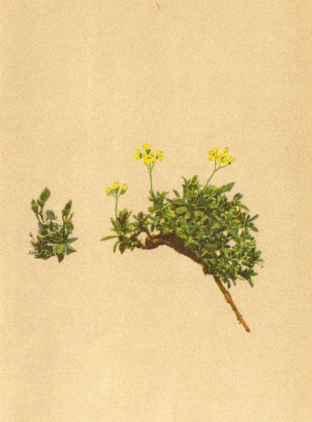 Associate Product ALPENFLORA ALPINE FLOWERS. Draba Sauteri Hoppe-Sauter's Hungerblümchen 1897