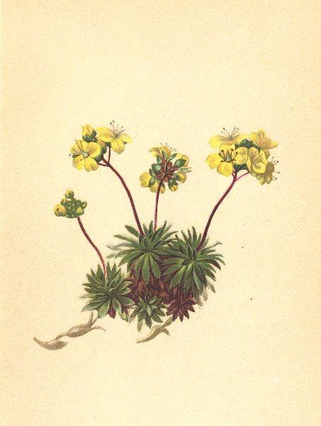 Associate Product ALPENFLORA ALPINE FLOWERS. Draba aizoides L-Immergrünes Hungerblümchen 1897