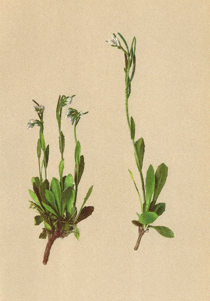 Associate Product ALPENFLORA ALPINE FLOWERS. Arabis coerulea (All. ) Hänke-Blaue Gänsekresse 1897