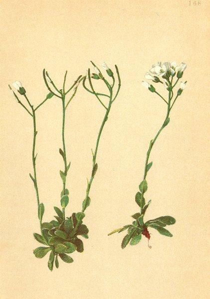 Associate Product ALPENFLORA ALPINE FLOWERS. Arabis pumila Jacq-Zwerg-Gänsekresse 1897 old print