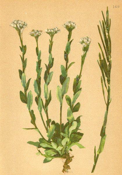 Associate Product ALPINE FLOWERS.Arabis bellidifolia.Jacq-Maassliebchenblättrige Gänsekresse 1897
