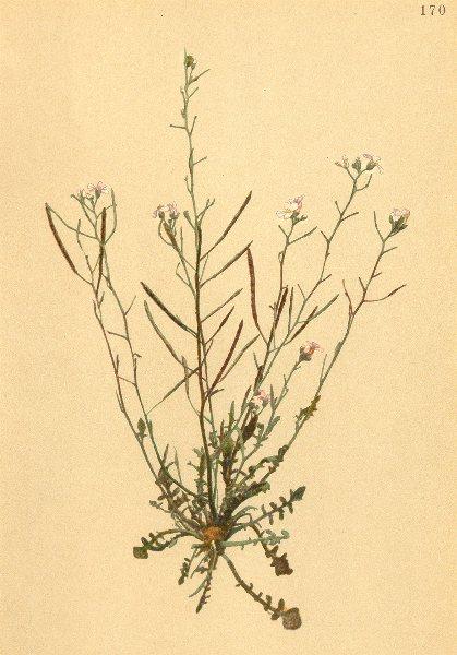 Associate Product ALPENFLORA ALPINE FLOWERS. Arabis arenosa Scop-Sand-Gänsekresse 1897 old print