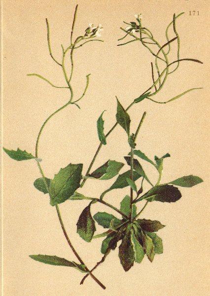 Associate Product ALPENFLORA ALPINE FLOWERS. Arabis alpina L-Alpen-Gänsekresse 1897 old print