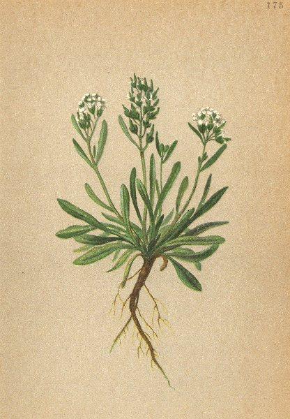 ALPENFLORA ALPINE FLOWERS. Braya alpina Sternb. Hoppe-Alpen-Knotenschötchen 1897