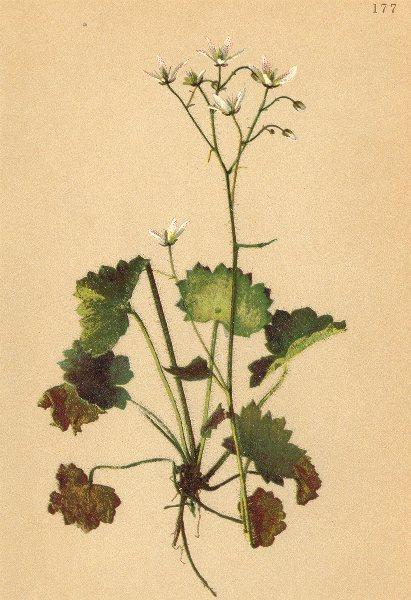 Associate Product ALPINE FLOWERS. Saxifraga rotundifolia L-Rundblättriger Steinbrech 1897 print