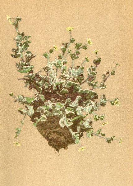 Associate Product ALPINE FLOWERS. Saxifraga arachnoidea Sternb-Spinnwebiger Steinbrech 1897