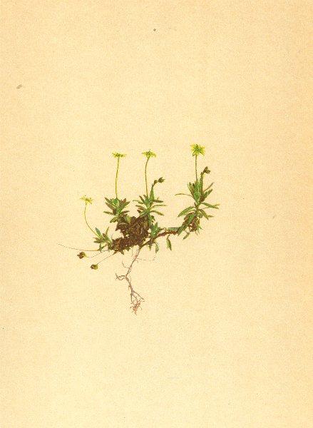 Associate Product ALPINE FLOWERS. Saxifraga sedoides L-Mauerpfefferähnlicher Steinbrech 1897