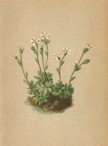 Associate Product ALPINE FLOWERS. Saxifraga androsacea L-Mannsschildähnlicher Steinbrech 1897