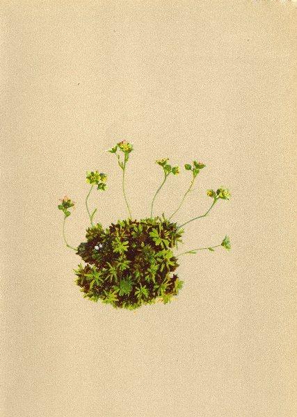 Associate Product ALPINE FLOWERS. Saxifraga moschata Engler-Moschusduftender Steinbrech 1897