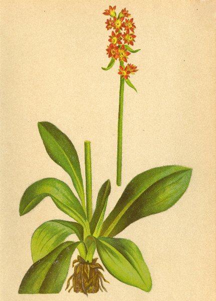 Associate Product ALPINE FLOWERS. Saxifraga hieraciifola W-Habichtskrautblättriger Steinbrech 1897