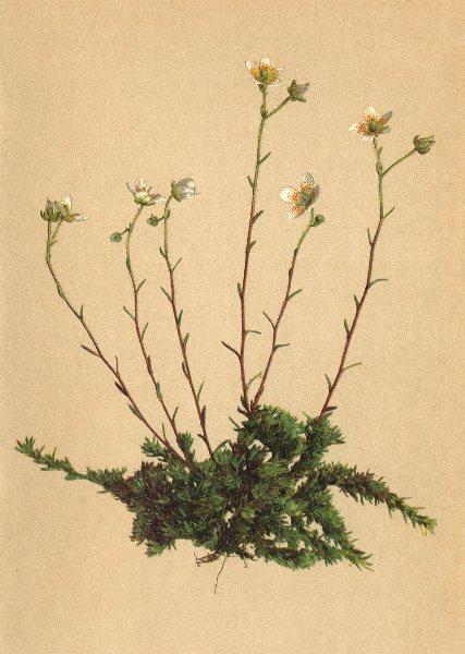 Associate Product ALPENFLORA ALPINE FLOWERS.Saxifraga aspera L-Gewimpertblättriger Steinbrech 1897