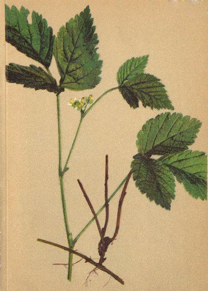 Associate Product ALPENFLORA ALPINE FLOWERS. Rubus saxatilis L-Felsen-Brombeere 1897 old print