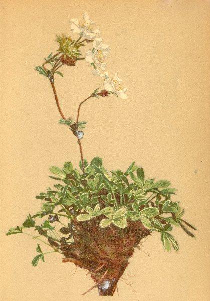 Associate Product ALPENFLORA ALPINE FLOWERS. Potentilla clusiana Jacq-Clusius Fingerkraut 1897