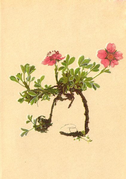 Associate Product ALPENFLORA ALPINE FLOWERS. Potentilla nitida L-Glänzendes Fingerkraut 1897