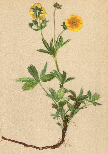 Associate Product ALPENFLORA ALPINE FLOWERS. Potentilla aurea L-Goldgelbes Fingerkraut 1897