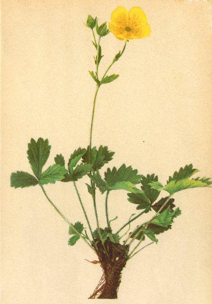 Associate Product ALPINE FLOWERS. Potentilla grandiflora L-Grossblüthiges Fingerkraut 1897 print
