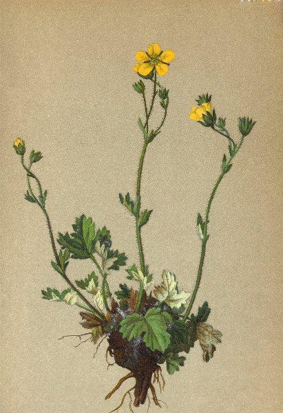 Associate Product ALPENFLORA ALPINE FLOWERS. Potentilla nivea L-Schneeweisses Fingerkraut 1897
