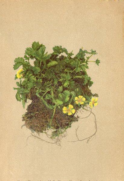 ALPENFLORA ALPINE FLOWERS. Potentilla minima Hall. Fil-Zwergfingerkraut 1897