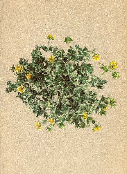 Associate Product ALPINE FLOWERS. Potentilla frigida Vill-Kälteliebendes Fingerkraut 1897 print