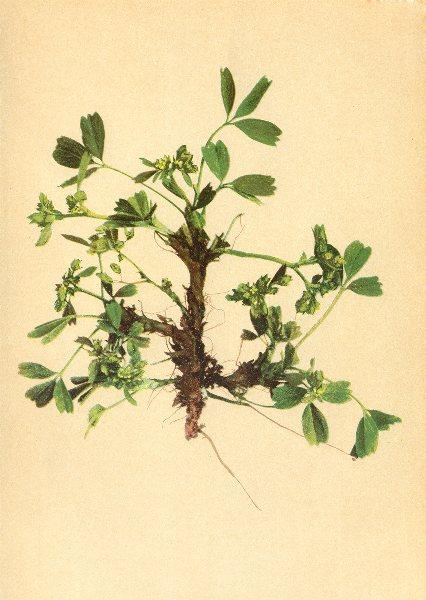 Associate Product ALPENFLORA ALPINE FLOWERS. Sibbaldia procumbens L-Gelbling 1897 old print