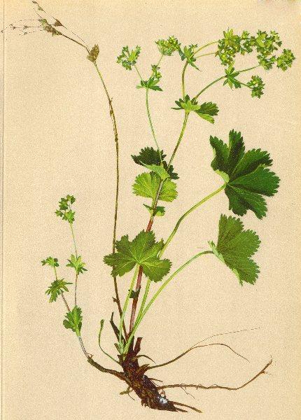 Associate Product ALPINE FLOWERS. Alchemilla fissa Schummel-Spaltblättriger Frauenmantel 1897