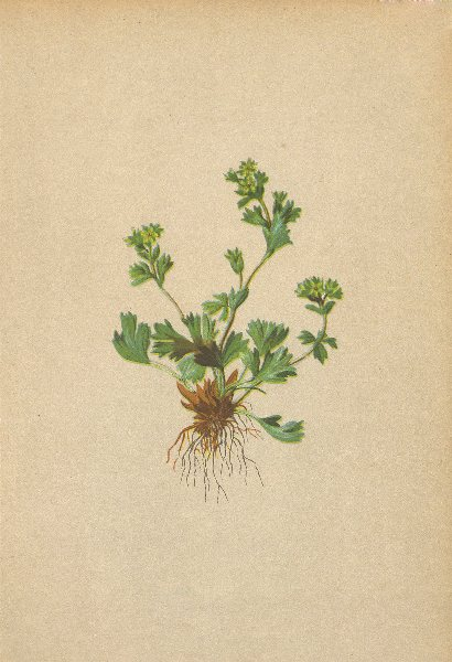 Associate Product ALPINE FLOWERS. Alchemilla pentaphylla L-Fünfblättriger Frauenmantel 1897