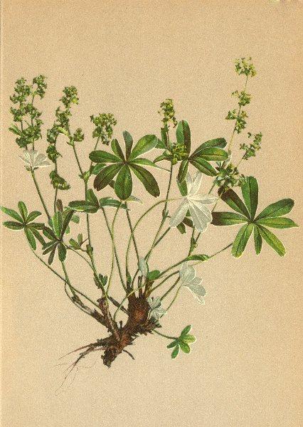 Associate Product ALPENFLORA ALPINE FLOWERS. Alchemilla alpina L-Alpen-Frauenmantel 1897 print