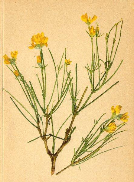 Associate Product ALPENFLORA ALPINE FLOWERS.Genista radiata(L.)Scop-Strahlblättriger Ginster 1897