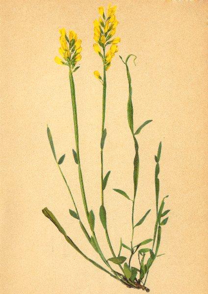 Associate Product ALPENFLORA ALPINE FLOWERS. Genista sagittalis L-Pfeilginster 1897 old print