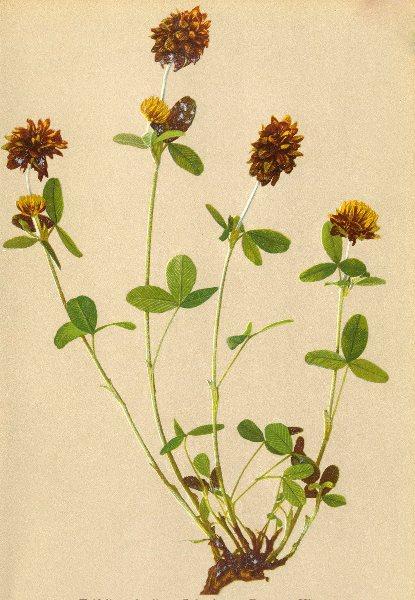 Associate Product ALPENFLORA ALPINE FLOWERS. Trifolium badium Schreb-Brauner Klee 1897 old print