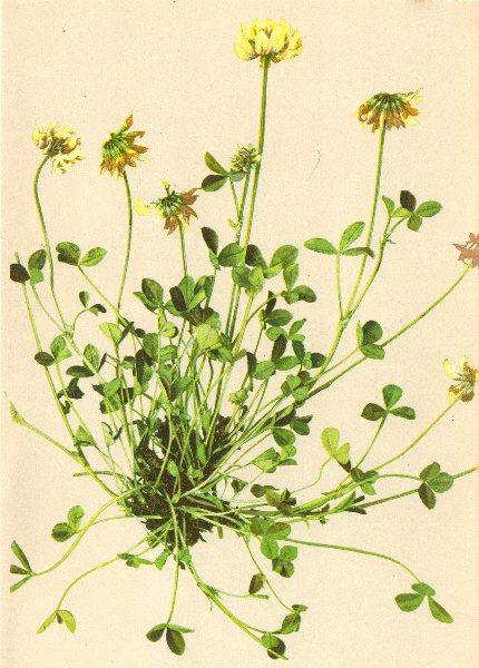 Associate Product ALPENFLORA ALPINE FLOWERS. Trifolium pallescens Schreb-Gelblichweisser Klee 1897