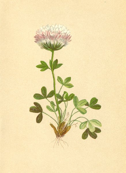 ALPENFLORA ALPINE FLOWERS. Trifolium thalii Vill-Thal's Klee 1897 old print